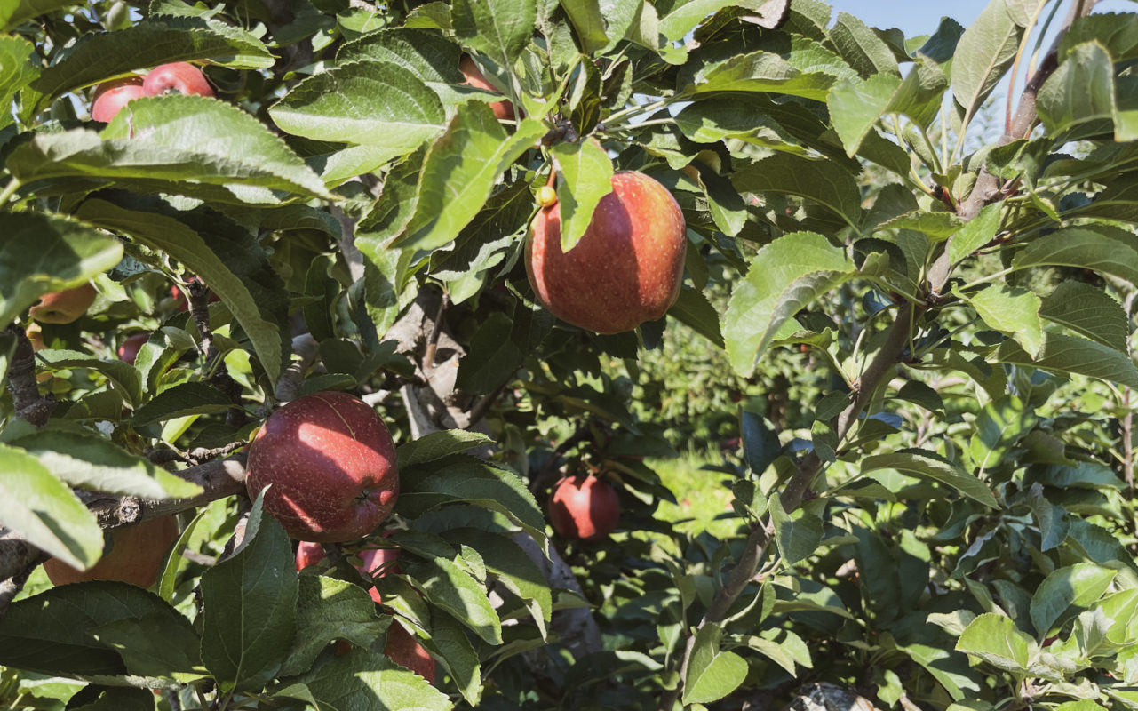apple orchards in ontario